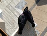 pigeons sher.JPG