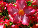 adenium flower close.JPG