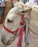 P6251276_white mule.jpg