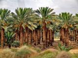 P6251311_date palm grove.jpg