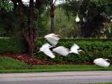 P8261770_egrets flying.jpg