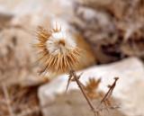 P9261955_herodion dried flower.jpg