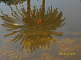SAM_0038_pond fish800.jpg