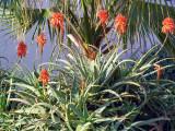 P1070012_aloe flowers.JPG