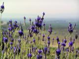 lavender 1-30-2006 2-25-52 PM 2288x1712.JPG