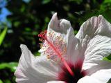 hibiscus_white.JPG