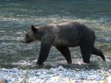 Grizzly Bear 2a.jpg