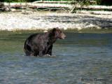 Grizzly Bear fishing 1a.jpg