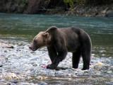 Grizzly Bear with chum salmon 2a.jpg