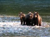 Grizzly Bear cubs 2a.jpg