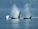 Orcas 1a.jpg