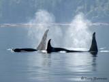 Orcas 3a.jpg