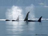 Orcas 4a.jpg