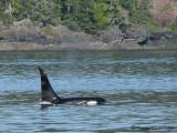 Orcas 6a.jpg