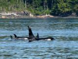 Orcas 7a.jpg