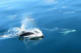 Pacific White-sided Dolphin 2a.jpg