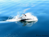 Pacific White-sided Dolphin 3a.jpg