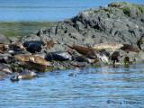 Harbour Seals 1a.jpg