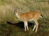 Black-tailed Deer 1a.jpg