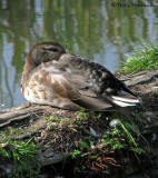Mallard juvenile male 1a.jpg