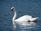 Mute Swan 1a.jpg