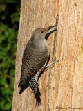 Northern Flicker - Red-shafted 1a.jpg