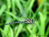 Aeshna palmata - Paddle-tailed Darner 12a.jpg