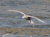 Glaucous Gull in flight 2b.jpg