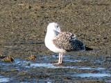Great Black-backed Gull juvenile 2c.jpg