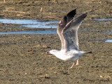 Great Black-backed Gull juvenile taking off 1a copy.jpg