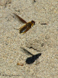 Poecilanthrax sp. - Bee fly in flight B3a.jpg