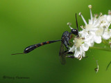 Evanioid Wasps - Evanioidea