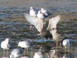 Thayers Gull juvenile with wings raised 1a copy.jpg