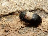 Skin Beetles - Dermestidae