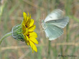 Colias alexandra - Alexandra Sulphur white female in flight 1a.jpg