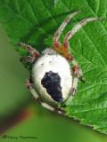 Araneus marmoreus - marbled spider 5a.jpg