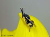 Chalcidoid Wasps - Chalcidoidea