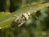 Seed Bugs - Lygaeidae