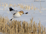 Snow Bunting in flight 1a.jpg
