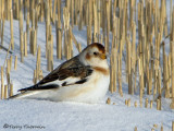 Snow Bunting winter 2a.jpg