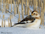 Snow Bunting winter 3a.jpg