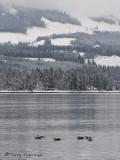 Long-tailed Ducks at Deep Bay 1a.jpg