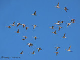 Northern Pintails in flight 5a.jpg
