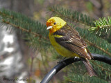 Tanagers, Grosbeaks and allies