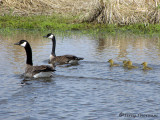 Canada Geese and Goslings 4a.jpg
