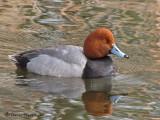 Redhead 9a.jpg