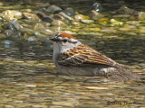 Chipping Sparrow bathing 1a.jpg