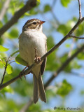 Clay-colored Sparrow 6a.jpg