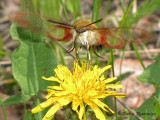 Hemaris thysbe - Hummingbird Clearwing 3a.jpg
