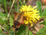Hemaris thysbe - Hummingbird Clearwing 4a.jpg